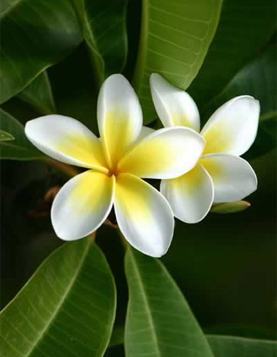 Turkish frangipani flowers in private garden