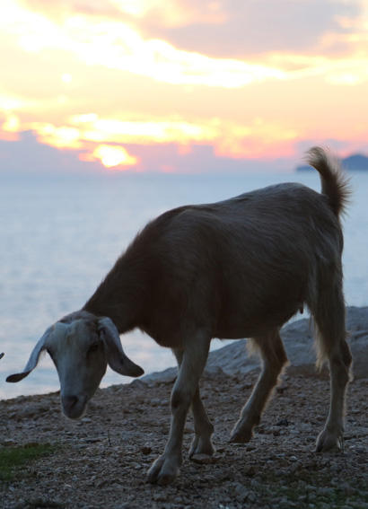 Sunset view with goat at Kaputas