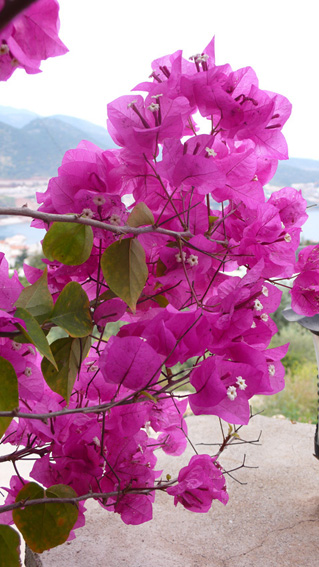 Bougainvillia in garden of private villa in Kalkan Turkey