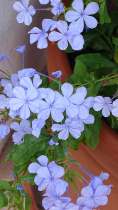 Plumbago flowering at Kalkan villa holiday rental