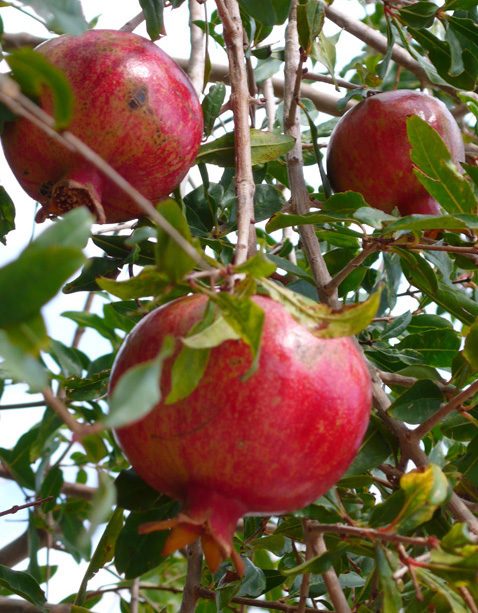 Fresh Turkish pomegranates in garden of Kalkan villa rental
