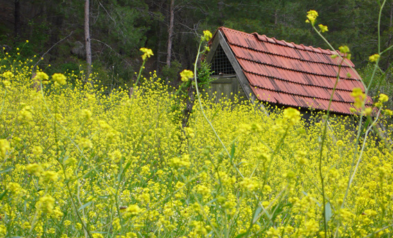 Yellow wildflowers and rustic shacky